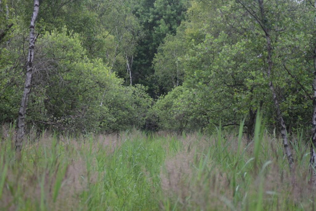 Naturoplevelser, Ilia og Iris tur på Amager. Ilias (Apatura ilia) yndlings lokalitet på Amager. Her er masser af Selje-pil (Salix caprea), Birk (Betula sp.), og Tagrør (Phragmites australis). Den elsker det!