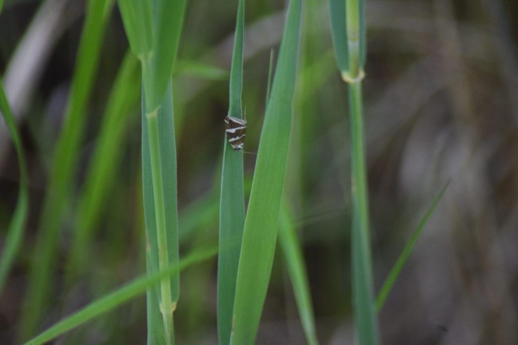 Tvebånd-dagugle (<em>Deltote bankiana</em>), på flitteraks. Naturoplevelser. Ilia og Iris tur på Kalvebodfælled.