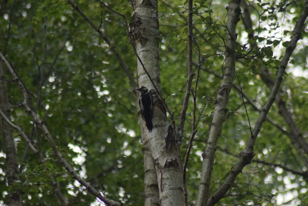 Stor Flagspætte (Dendrocopos major) på birk (<em>Betula spp.</em>), igang med at finde mad. Naturoplevelser. Ilia og Iris tur på Kalvebod fælled.