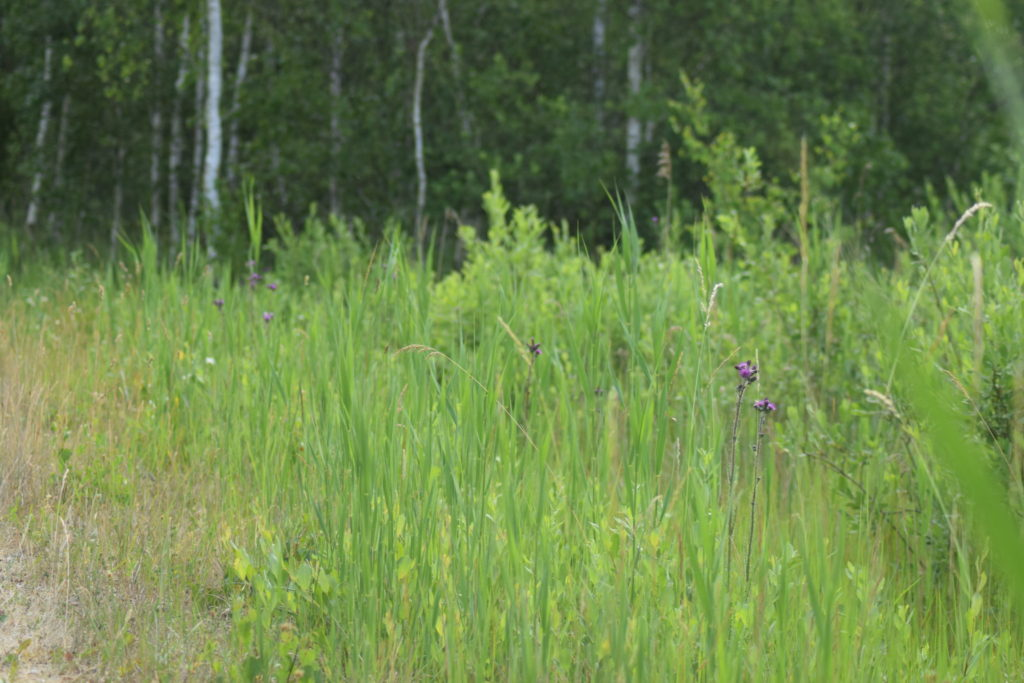 Kærtidsel (<em>Cirsium palustre)</em> på strækning langs yderkanten af Pinseskoven på syd-østsiden. Her fortale Lars at der var ser svalehale (<em>Papilio machaon</em>) tidligere på året. Ærgeligt der ikke lige var en derude nu. Naturoplevelser. Ilia og Iris tur på Kalvebod fælled.