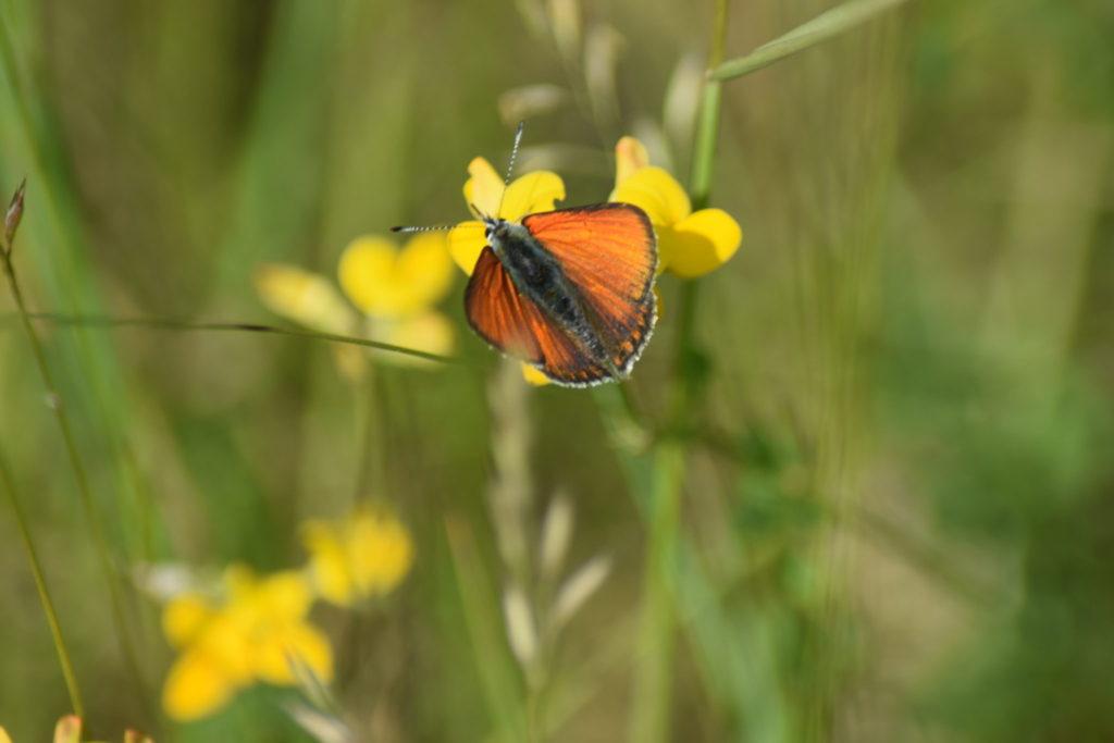 Naturoplevelser. Flyvestation Værløse. Violetrandet Ildfugl. Violetrandet Ildfugl han på Almindelig Kællingetand. Han er let at kende på den stærke orange farve, og de metaliske lilla partier på vingernes overside. Dette er en af de hanner vi så igår.