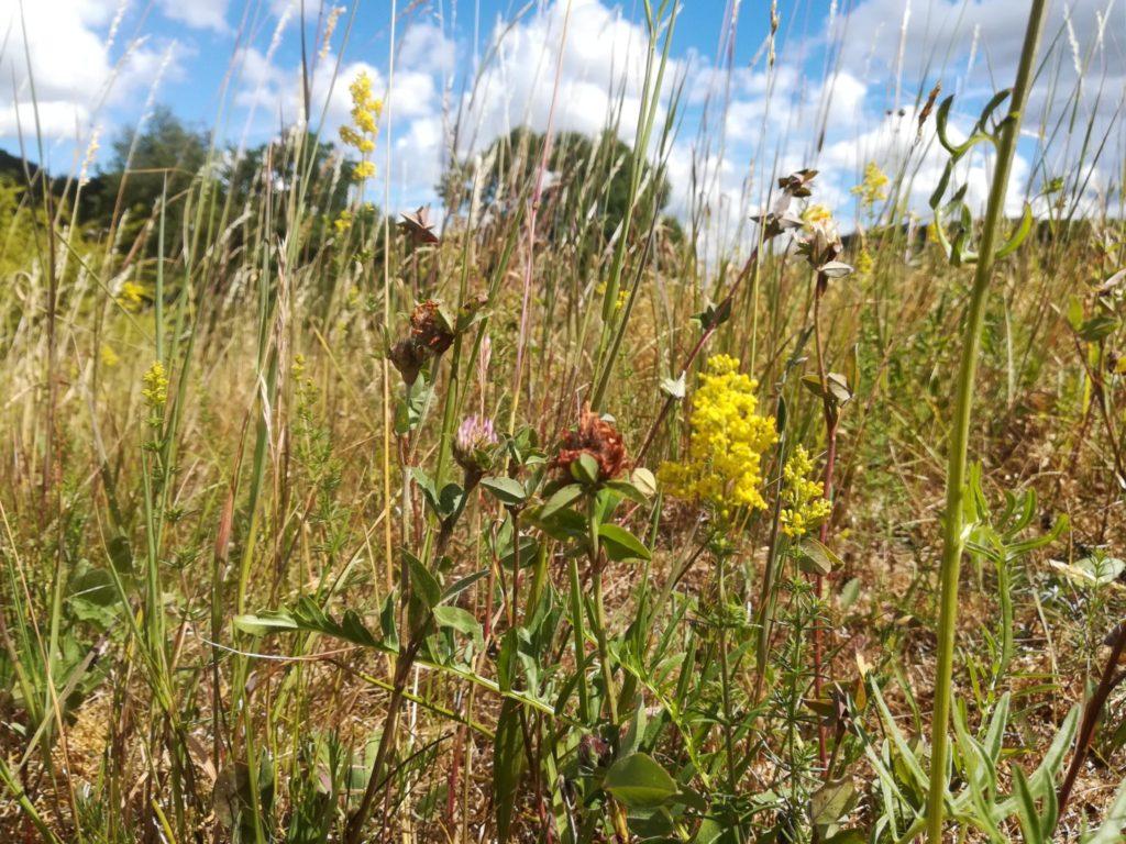 Øvre Mølle ådals smukke natur. Tur fra Bastrup sø til Buresø. På Sandbakken kan finde en smuk men for tiden noget tør vegetation, med Rød Kløver (Trifolium pratense) og Gul Snerre (Galium verum).