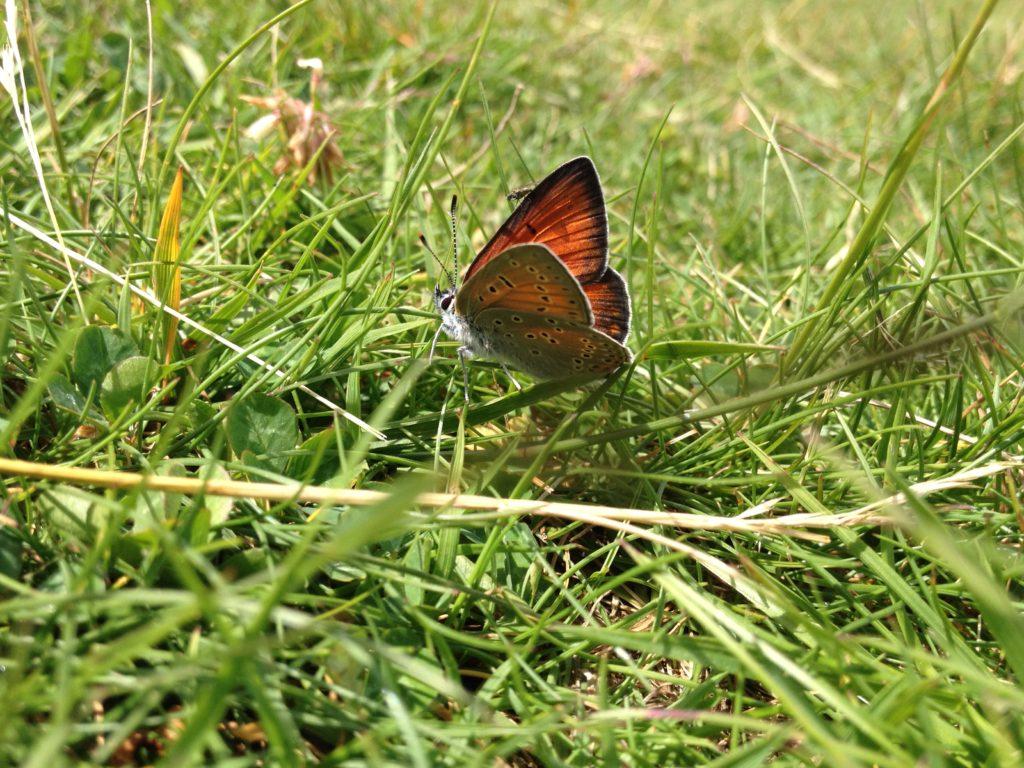Violetrandet ildfugl (Lycaena hippothoe). Billedet er taget på Baunesletten ved Værløse, Nordsjælland. Det er en han, hvilket man kan se på den orange overside på vingerne og de svage lilla aftegninger. Hunnen er orange og brun på oversiden af vingerne. Denne han sad på en sti med masser af hvid kløver og solede sig. Læg i øvrigt mærke til den lille flue der sidder på vingen. Foto af Zelina Elex Petersen