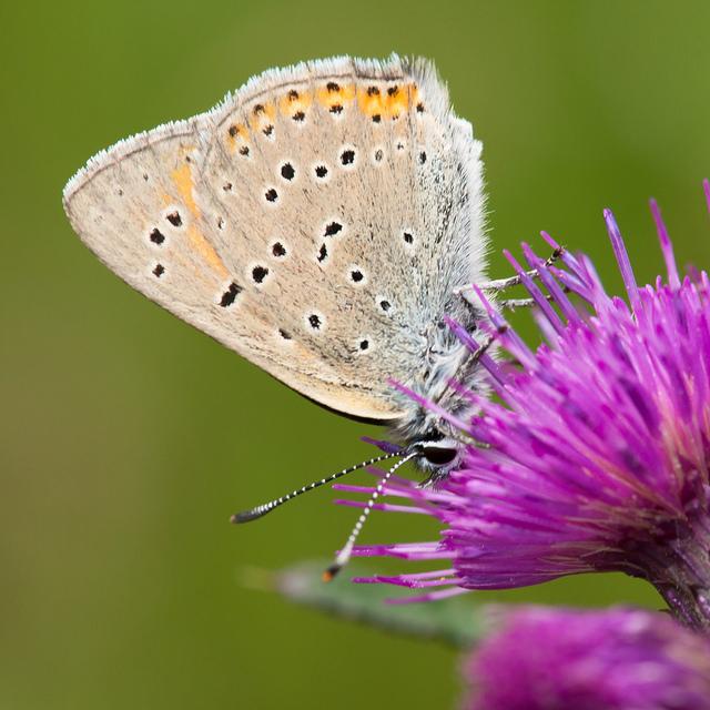 Violetrandet ildfugl (<em>Lycaena hippothoe</em>) med vingerne klappet sammen. Den har de karakteristiske sorte pletter som de fleste blåfugle har. Arten er svær at få øje på i vegetationen i denne position.