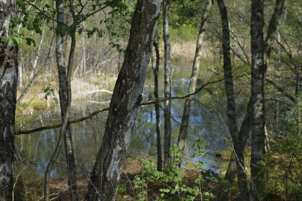 Grøn busksommerfugl (Callophrys rubi) lever bl.a. i moseområdet, som Fattigkæret ved Præstegårdsengen nær Farum sø, som ses på billedet. Billedet er taget i maj 2018 af Zelina Elex Petersen. Beskyttelse af Grøn busksommerfugl. Beskyttelse af dagsommerfugle. Ildfugl.com.