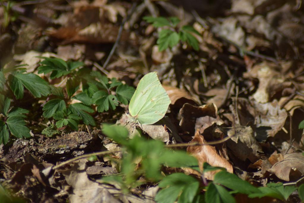 På Sommerfugletur til Præstemose og Sortmosen ved Farum langs Farum sø. For at se på Grøn Busksommerfugl (Callophrys rubi). Citronsommerfugl (Gonepteryx rhamni) ved fattigkæret ved siden af Præstegårdsengen.
