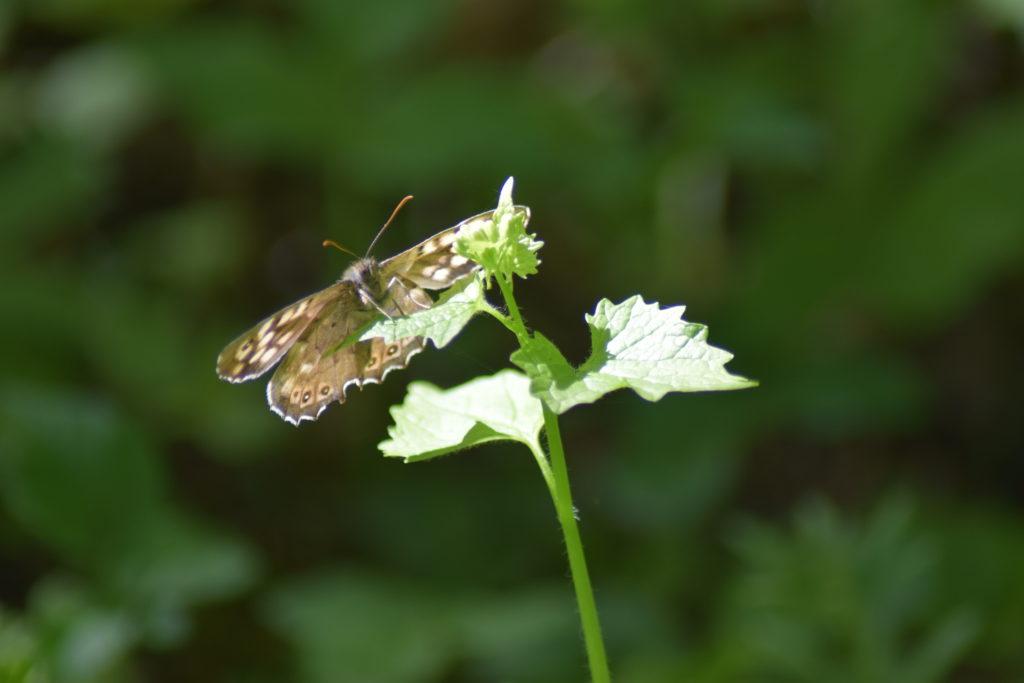 Natur. Udflugt. På Sommerfugletur til Præstemose og Sortmosen ved Farum langs Farum sø. For at se på Grøn Busksommerfugl (Callophrys rubi). Skovrandøje (Pararge aegeria) på Løgkarse (Alliaria petiolata) ved Præstegårdsmosen.