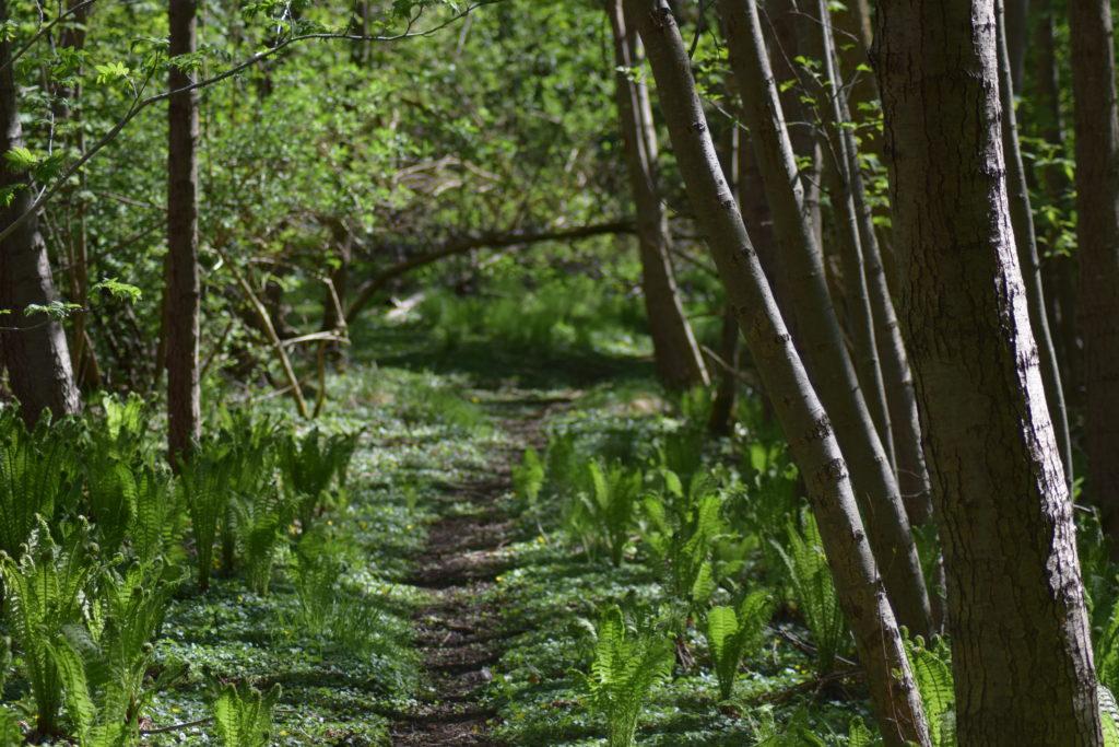 Natur. Udflugt. På Sommerfugletur til Præstemose og Sortmosen ved Farum langs Farum sø. For at se på Grøn Busksommerfugl (Callophrys rubi). Sti gennem Præstegårdsmosen ved Farum. Det var meget smukt.