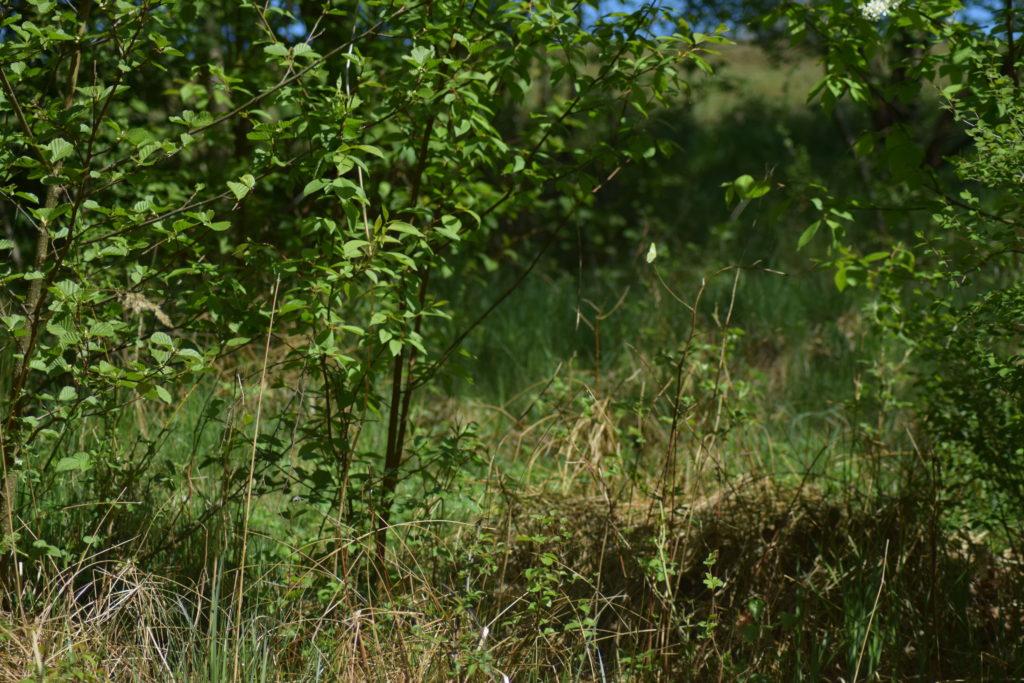Grøn Busksommerfugl (Callophrys rubi) bruger Tørst (Rhamnus frangula) som værtsplante. Her fotograferet ved fattigkæret ved Præstegårdsengen nær Farum sø. Billedet er taget i maj 2018 af Zelina Elex Petersen. Beskyttelse af Grøn busksommerfugl. Beskyttelse af dagsommerfugle. Ildfugl.com.