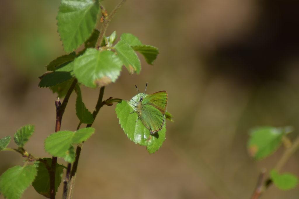 Natur. Udflugt. På Sommerfugletur til Præstemose og Sortmosen ved Farum langs Farum sø. For at se på Grøn Busksommerfugl (Callophrys rubi).