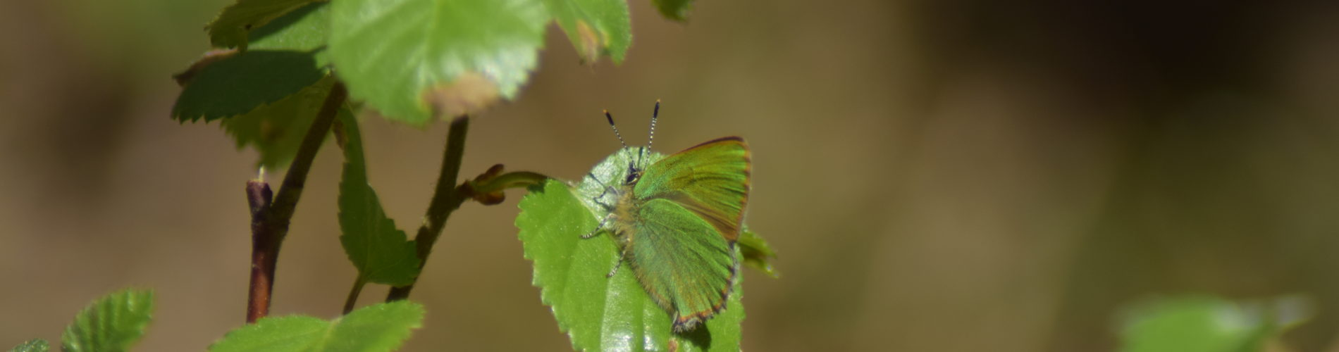 Grøn Busksommerfugl (Callophrys rubi) på Dunbirk (Betula pubescens), ved Farum Sortmose.