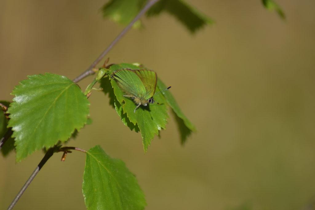 Grøn Busksommerfugl (Callophrys rubi) på Dunbirk (Betula pubescens), ved Farum Sortmose. Billedet er taget i maj 2018 af Zelina Elex Petersen. Beskyttelse af Grøn busksommerfugl. Beskyttelse af dagsommerfugle. Ildfugl.com.