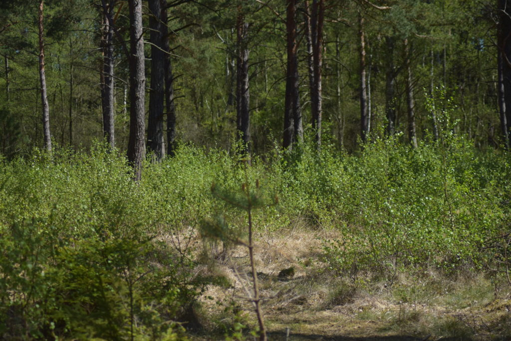 Natur. Udflugt. På Sommerfugletur til Præstemose og Sortmosen ved Farum langs Farum sø. For at se på Grøn Busksommerfugl (Callophrys rubi). Sortmosen set fra spejderhytten. Mosen har meget opvækst af Birk (Betula sp.) som er lidt bekymrende.