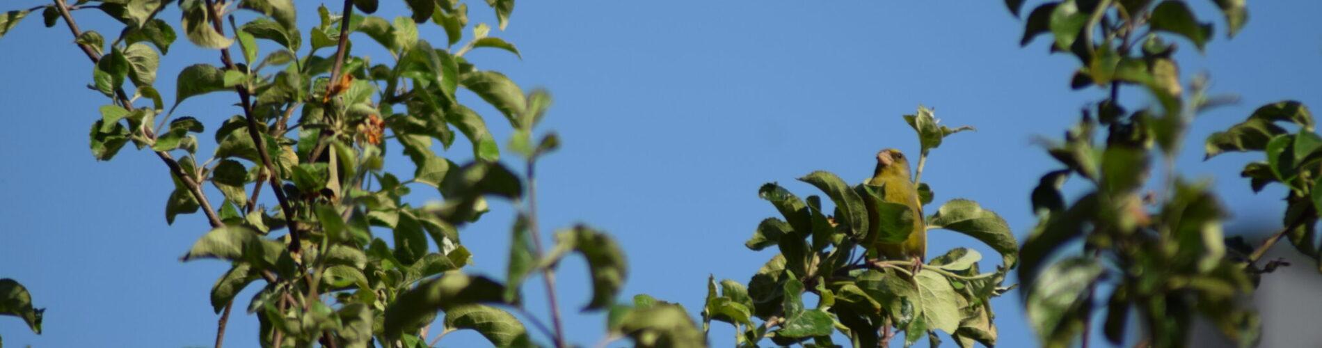 """Grønirisk (Chloris chloris) i æbletræet i min gård. Finkeart og en trækgæst på vej nordpå. Fra """"Fugle i byen og i min byhave""""."""