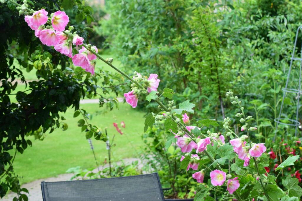 Min lyserøde Almindelige Stokrose (Alcea Rosea). Den er blomstret for første gang i år. Jeg har selv sået den i min byhave. Ildfugl.com, Blog, Haven, Haveblog - Min have den 7 juli 2020.