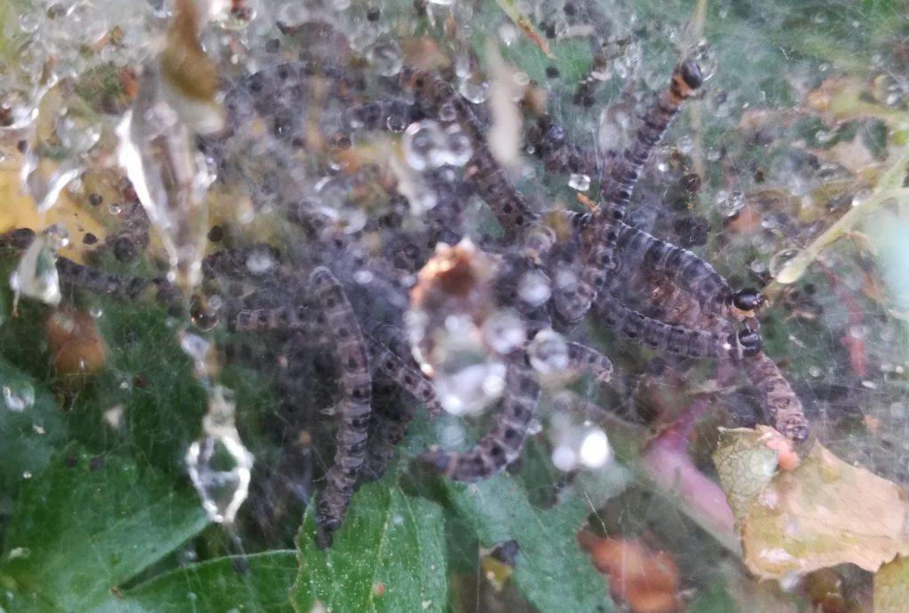 Naturoplevelser. Larvespind. Æblespindemøllarver (<em>Yponomeuta malinellus</em>) på Almindelig Hvidtjørn træer (<em>Crataegus laevigata</em>).