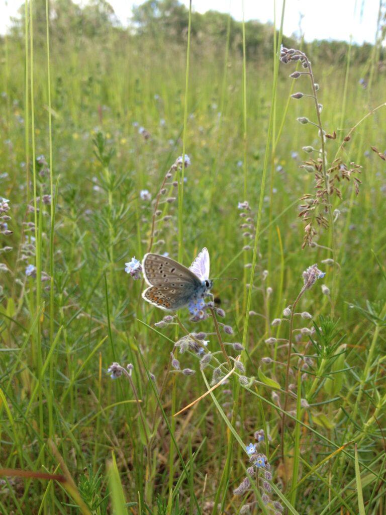 Han af Almindelig Blåfugl (Polyommatus icarus) på Forglemmigej (Myosotis sp.). Man kan kende hannen på den gråhvide underside, som man kan se her på billedet. Billedet er taget af Zelina Elex Petersen i juni 2017. Sommerfugleforvaltning, forvaltning af Almindelig Blåfugl, Ildfugl.com.
