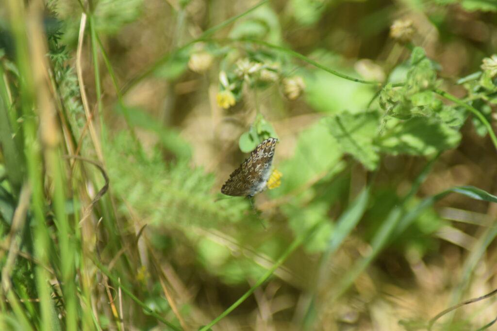 Hun af Almindelig Blåfugl (Polyommatus icarus). Læg mærke til undersidens gråbrune farve. Farven på undersiden er en sikker måde at skælme hanner fra hunner. Hannen er gråhvid på vingeundersiden. Kendetegner for Almindelige Blåfugl kan også ses, en hvid kile på den nederste vinge. Billedet er taget af Zelina Elex Petersen i juni 2017. Sommerfugleforvaltning, forvaltning af Almindelig Blåfugl, Ildfugl.com.