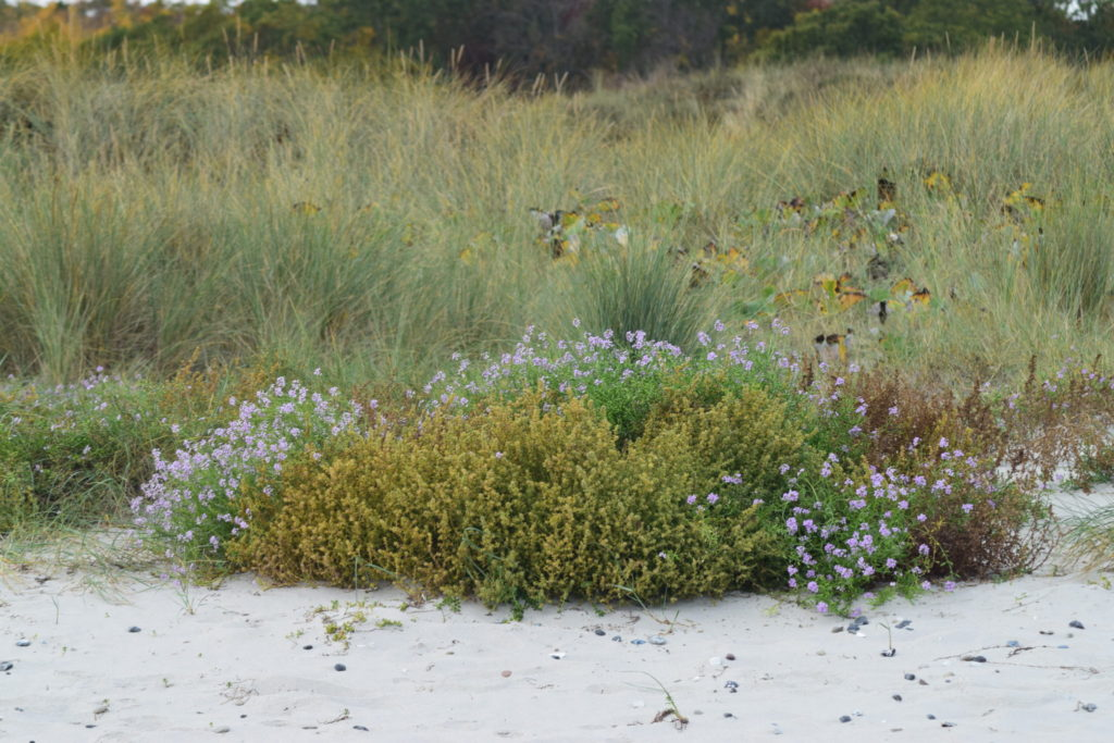 Almindelige Sodaurt (Salsola kali) og Østersø-Strandsennep (Cakile maritima ssp. baltica) optræder i store mængder langs stranden. Ulvshale Nordstrand, Oplev spændende Møn.