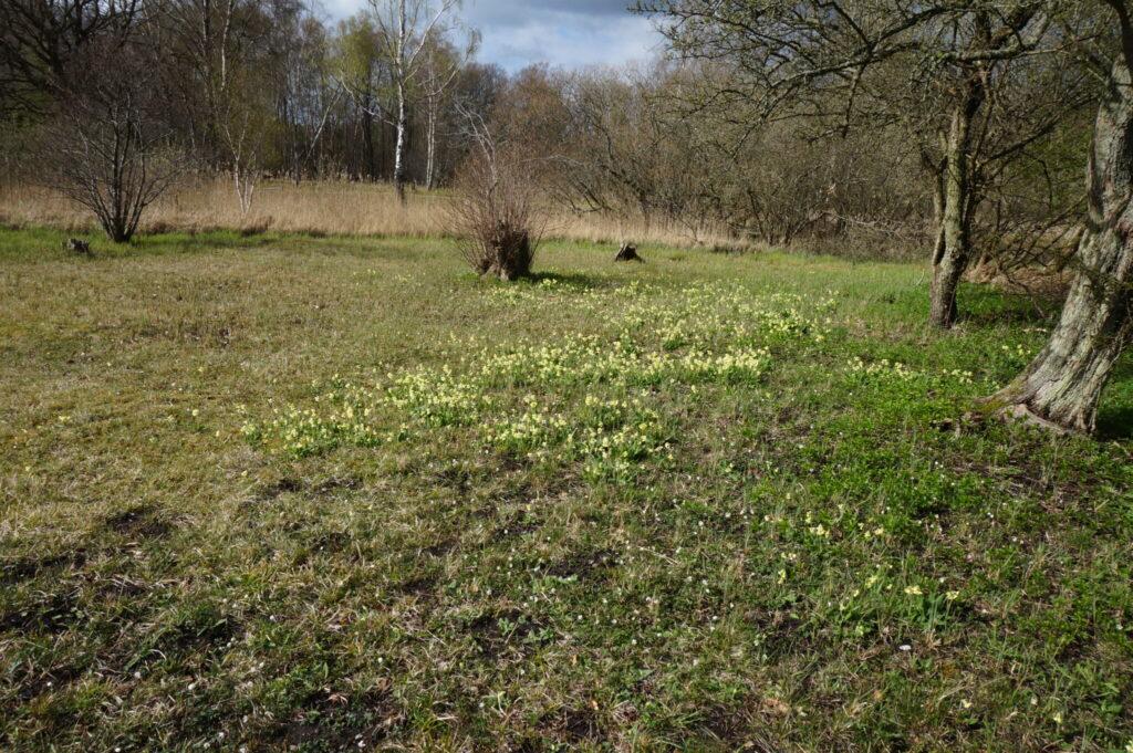 Børstingerød mose er hjemsted for Mørk Pletvinge. Forvaltning af Mørk Pletvinge (Melitaea diamina), forvaltning af dagsommerfugle, ildfugl.com.