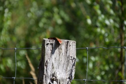 Dapåfugleøje (Aglais io) flader bare helt ud på sin pæl.