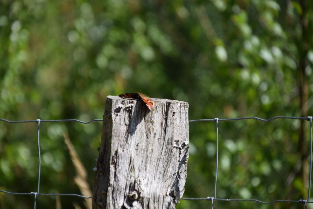 Dagpåfugleøje (Aglais io) flader bare helt ud på sin pæl.