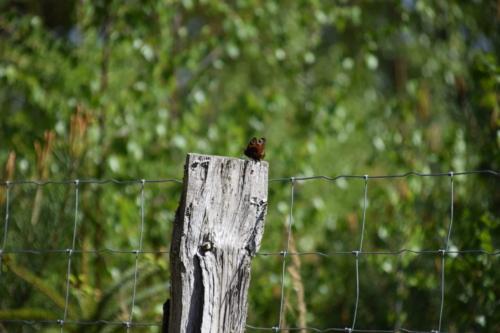 Dapåfugleøje (Aglais io) nyder solen på en pæl på Bognæs.