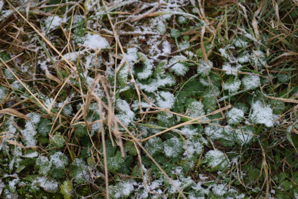 Den lave vegetation på en vinterdag. Sneen ligger som et lille tæppe på de hvilende planter.
