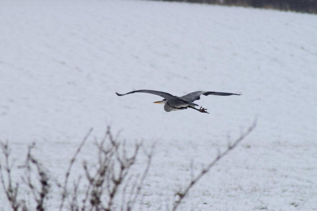 Det bor mindst en Fiskehejre (Ardea cinerea) langs den strækning af Pøleåen. Udflugt til Pøleåen ved Solbjerg Engsø. Hyggetur. Ildfugl.com