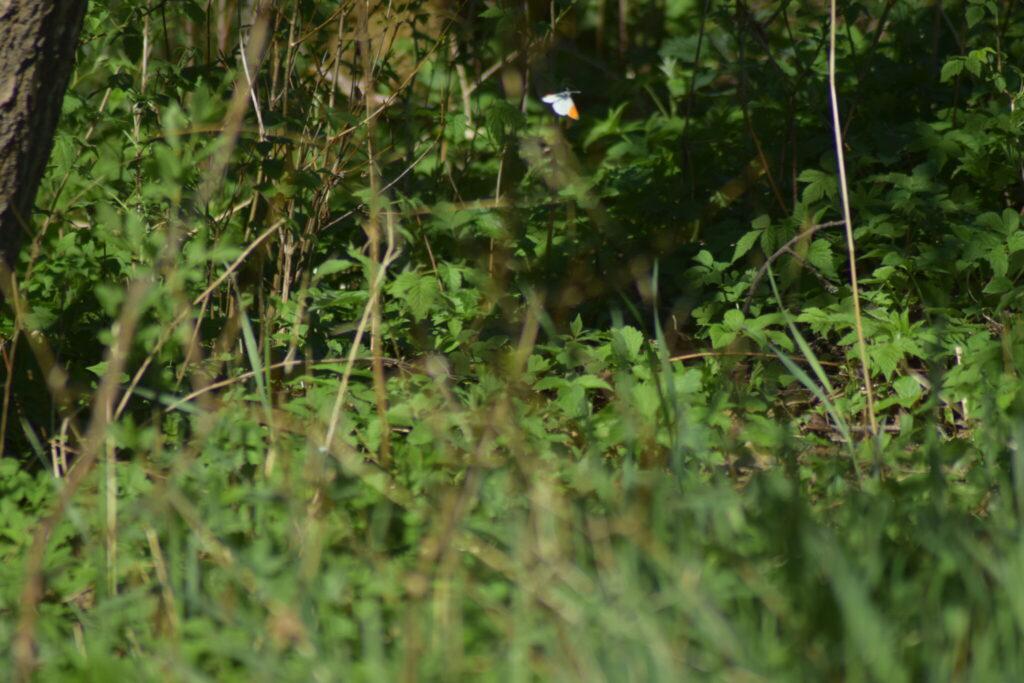 Aurora (Anthocharis cardamines) han på jagt efter hunner i skovbryn. Billedet er taget på Præstengen i Farum den 8 maj 2018 af Zelina Elex Petersen. Aurora forvaltning. Forvaltning af dagsommerfugle. Ildfugl.com