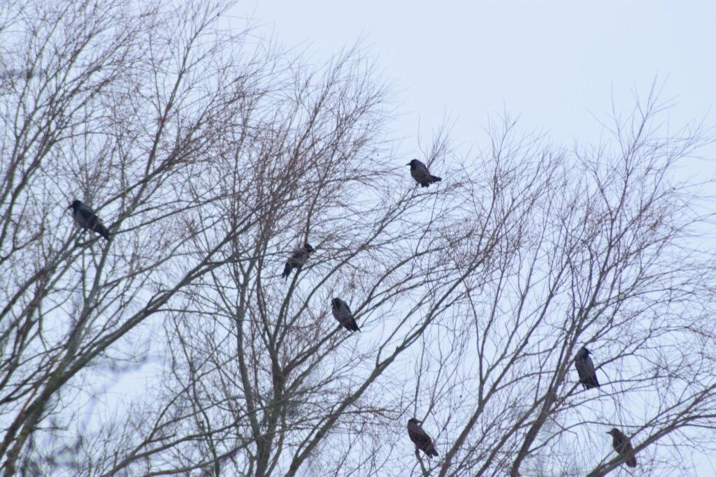 Gråkrager (Corvus cornix) sidder i træer og snakker i det kolde vejr. Udflugt til Pøleåen ved Solbjerg Engsø. Hyggetur. Ildfugl.com