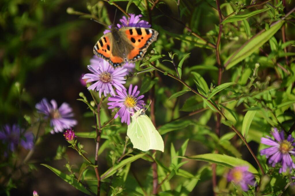 Citronsommerfugl (Gonepteryx rhamni) hun på Asters (Aster sp.). Her får hun selskab af en Nældens Takvinge (Aglais urticae), som også skal opbygge fedtdepoter til vinterens overvintring. Beskyttelse af Citronsommerfugl. Beskyttelse af dagsommerfugle. Ildfugl.com
