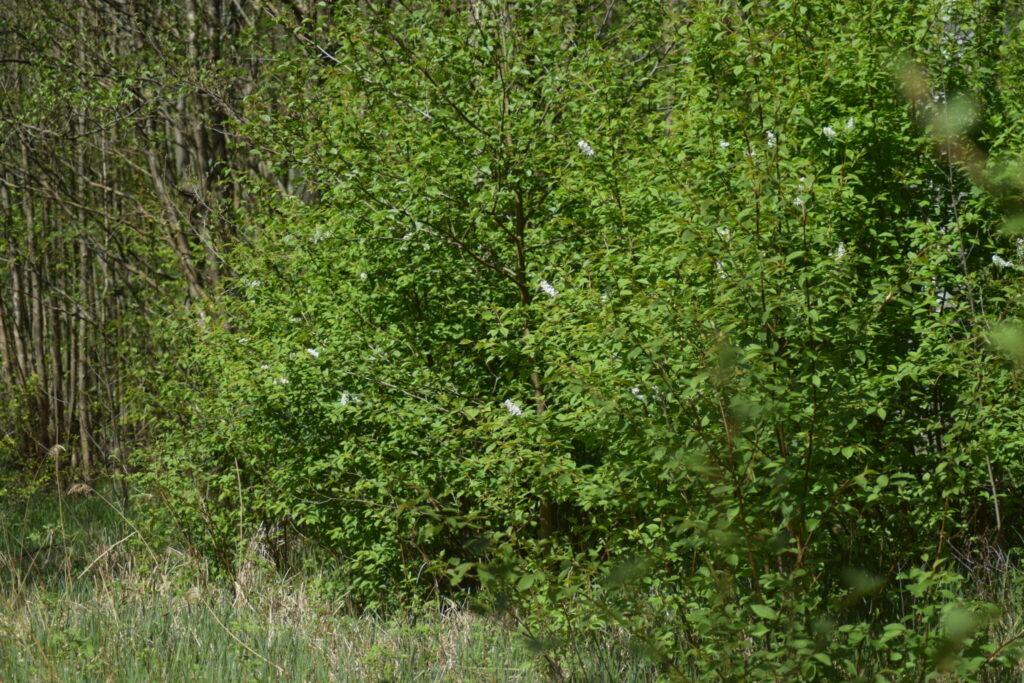 Tørst (Rhamnus frangula) er værtplanten for Citronsommerfugl (Gonepteryx rhamni). Beskyttelse af Citronsommerfugl. Beskyttelse af dagsommerfugle. Ildfugl.com