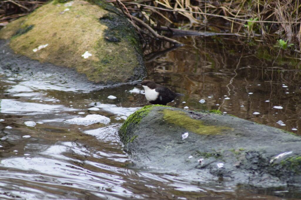 Vandstær (Cinclus cinclus) med vandsnegl i næbbet. Blog, Oplevelser/ Udflugter/ Felttur, Hyggetur, Ildfugl.com