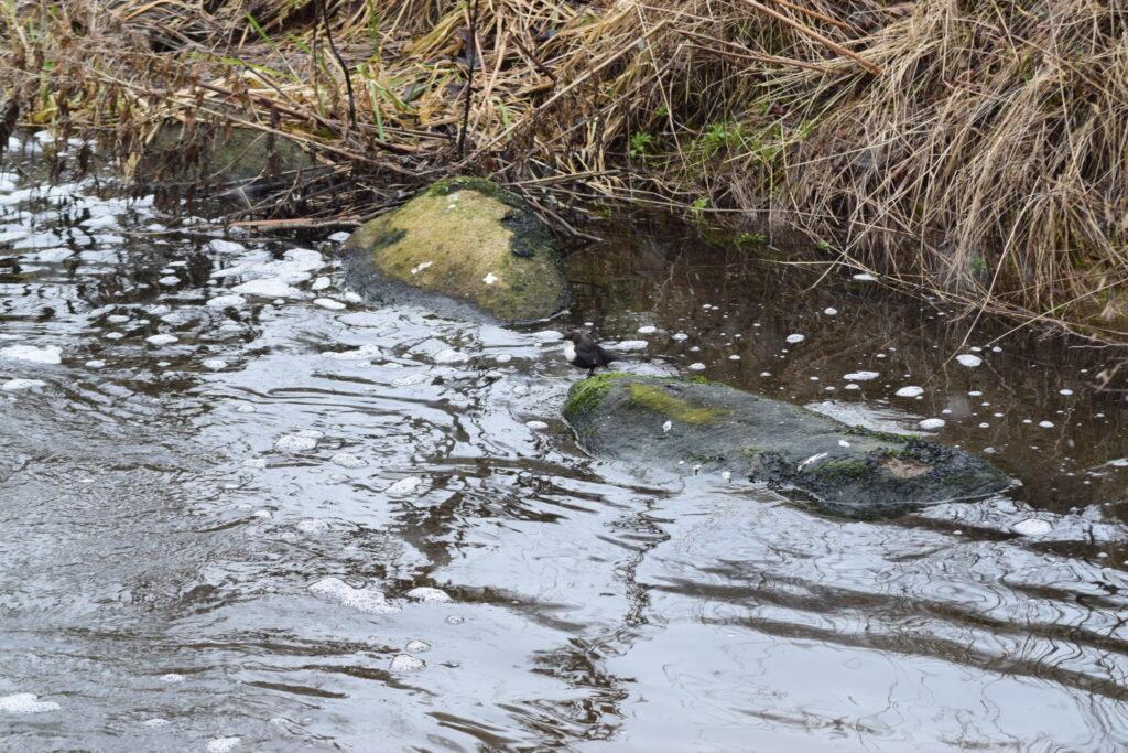 Den lille Vandstær (Cinclus cinclus) holder udkig udover Værebro å. Blog, Oplevelser/ Udflugter/ Felttur, Hyggetur, Ildfugl.com