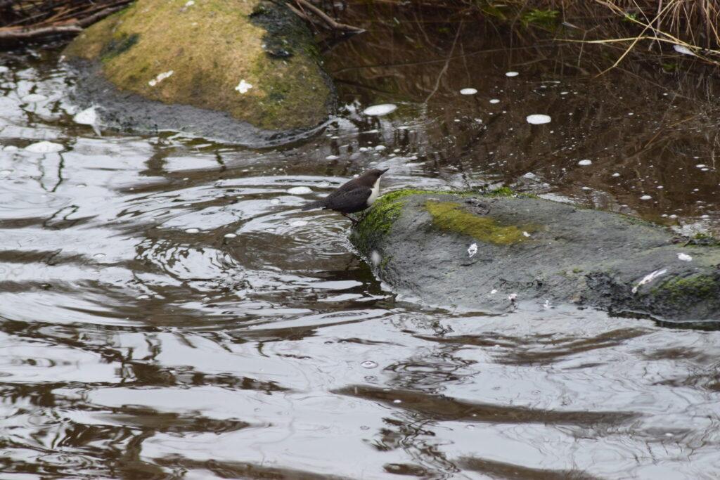 Den lille Vandstær (Cinclus cinclus) er lige kommet op fra jagt nede under vandet i Værebro å.Blog, Oplevelser/ Udflugter/ Felttur, Hyggetur, Ildfugl.com