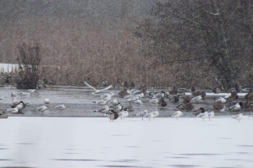 Fugle ved Møllemosen i det dejlige snevejr. De havde nok fortrukket det ikke sneede så kraftigt. På tur for at se Vandstær (Cinclus cinclus) og måske en Bjergvipstjert (Motacilla cinerea) langs Værebro å. Blog, Oplevelser/ Udflugter/ Felttur, Hyggetur, Ildfugl.com