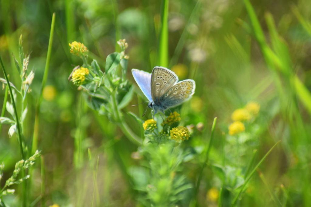 Naturoplevelser. Insektforvaltning på Flyvestation Værløse. Almindelig Blåfugl (<em>Polyommatus icarus</em>) han, på Humlesneglebælg (<em>Medicago lupulina</em>).