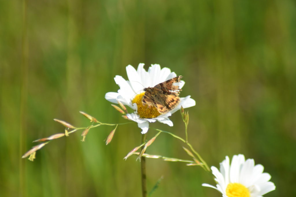 Naturoplevelser. Flyvestation Værløse. Insektvenlig forvaltning. Slidt eksemplar af Brun Kløverugle (<em>Euclidia glyphica</em>) på Hvid Okseøje (<em>Leucanthemum vulgare</em>). Den er så slidt at den nok har fløjet i noget tid allerede, og ikke har mange dage tilbage.