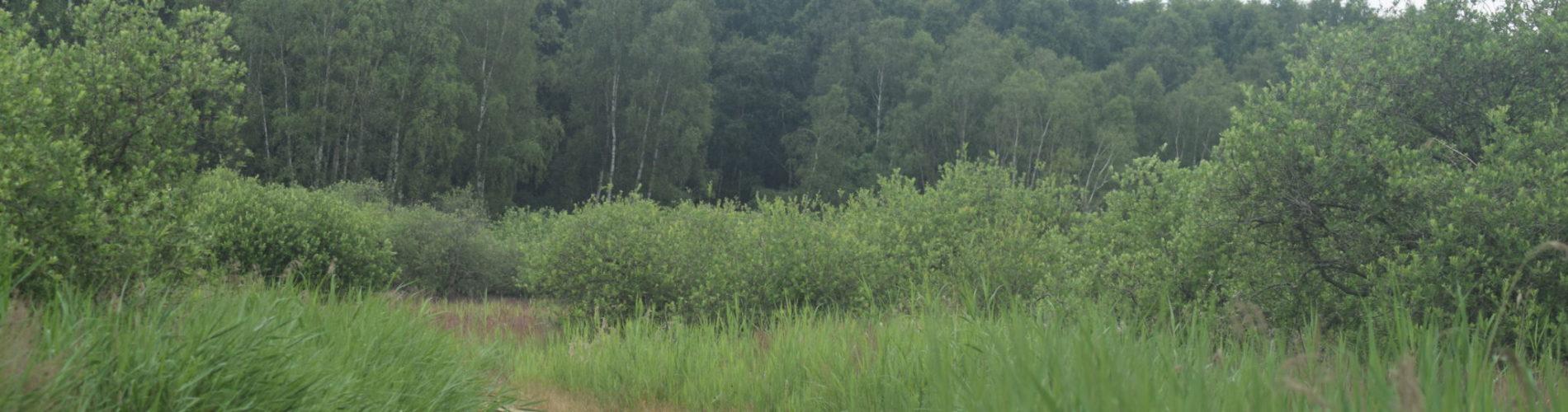 Sti gennem Pinseskoven med Tagrør (Phragmites australis) og Sejle-Pil (Salix caprea).