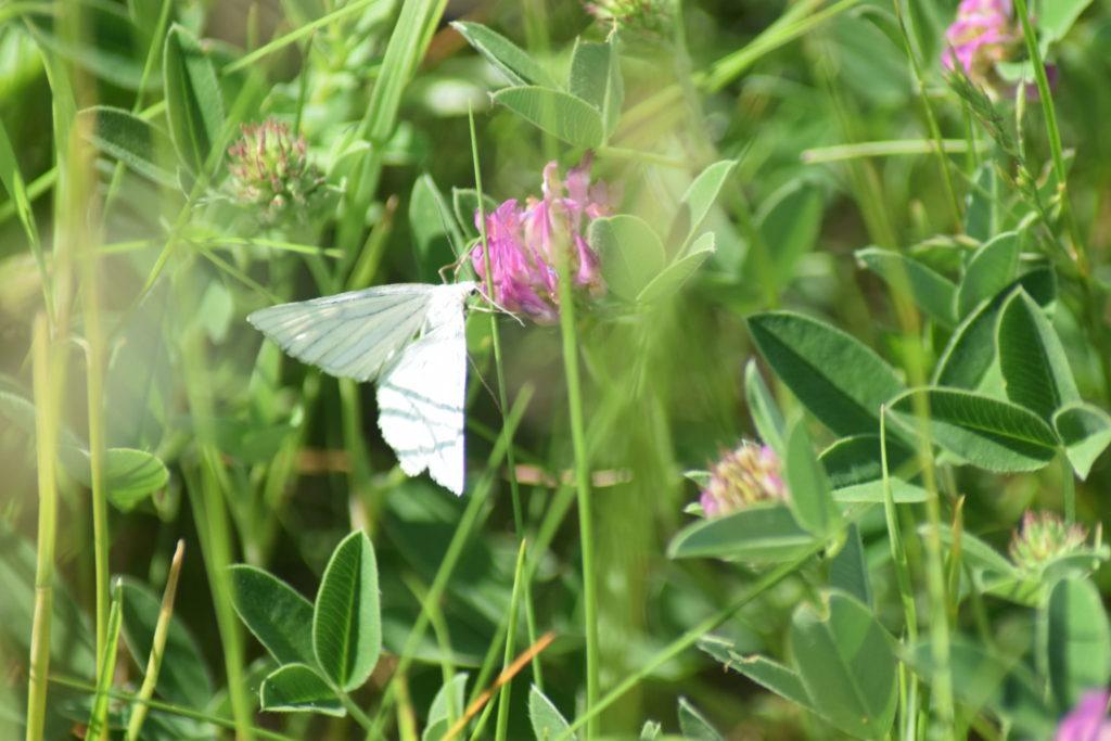 Naturoplevelser. Flyvestation Værløse. Insektvenlig forvaltning. Hvidvingemåler (<em>siona lineta</em>) på Rødkløver (<em>Trifolium pratense</em>). Rødkløver er en god nektarplante for sommerfugle.
