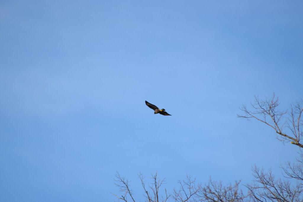 En Musvåge (Buteo buteo) fløj henover hoved på os, da vi ankom til Nybro. Den fløj derefter henover skoven med Furesøen, da en Gråkrage (Corvus cornix) mindre pænt gjorde den opmærksom på at den ikke var velkommen. Natur ved Bagsværd sø.