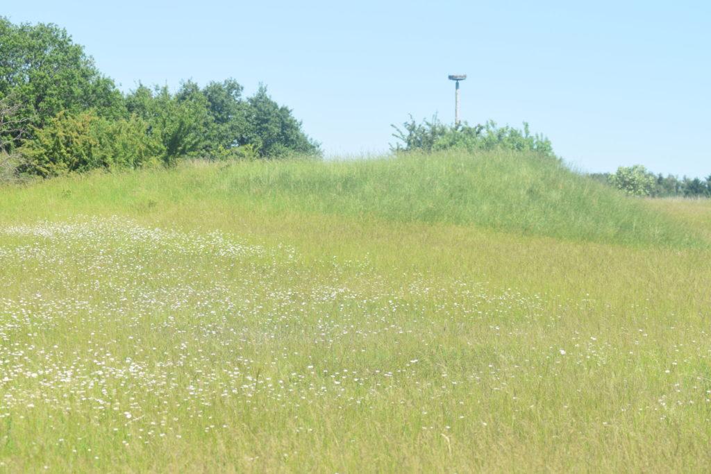 Naturoplevelser, Insektvenlig forvaltning på flyvestation Værløse, Violetrandet Ildfugl. Udsigt over vest-nord enden af flyvestation Værløse, med den flotte Hvid Okseøje (Leucanthemum vulgare) rige flora. I baggrunden ses en storkerede som Naturstyrelsen har fået sat op til Oskar, den Hvide Stork (Ciconia ciconia) der tit kommer på besøg fra Sverige. Forhåbentlig får han en dag en mage med.