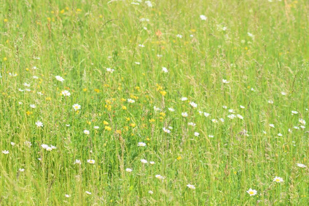 Stor Bredpande (Ochlodes sylvanus) kan lide en god rig græsvegetation med masse af vilde blomster. Som fx Hvid okseøje (Leucanthemum vulgare) og almindelig kællingetand (Lotus corniculatus), som begge ses her på billedet. Pleje og støtte af Stor Bredpande. Forvaltning af dagsommefugle. Ildfugl.com. Billedet er taget på Flyvestation Værløse i juni 2018 af Zelina Elex Petersen.
