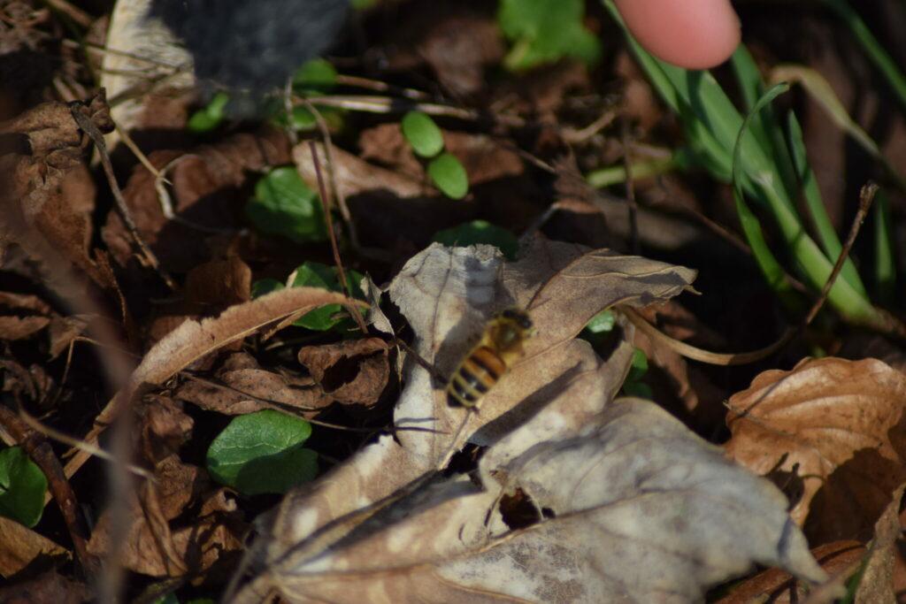 Årets første Honningbi (Apis mellifera), set ved Sophienholm slot. Jeg håber nu de andre bier sover lidt videre, der kan stadig komme frost, og så dør bierne. Naturen nær Bagsværd sø.