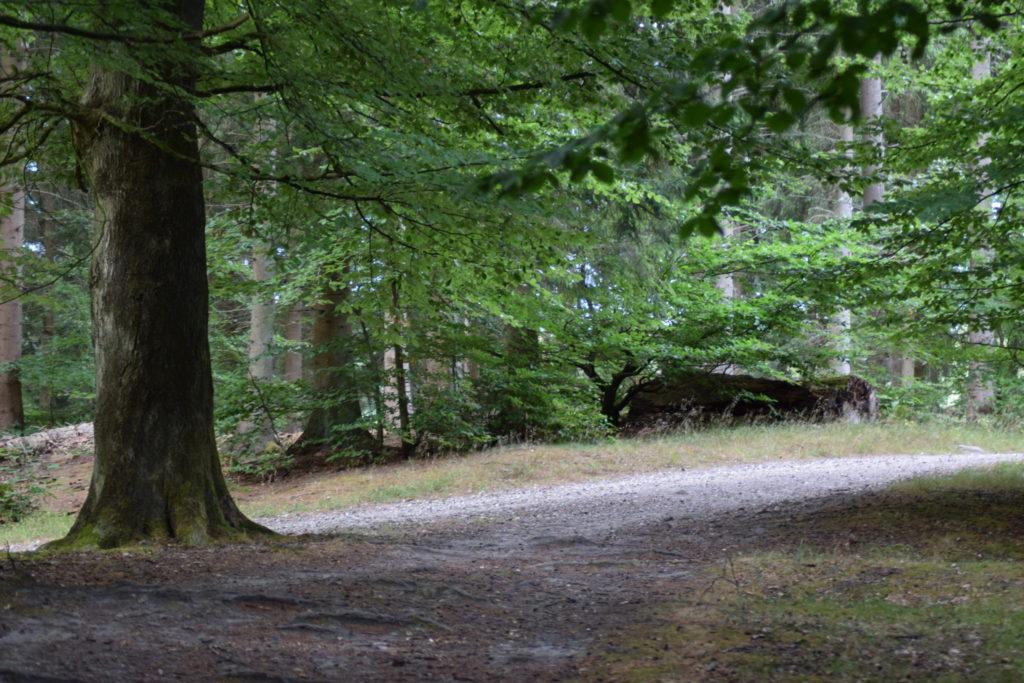 Stien går videre ind mellem bøgetræerne (Fagus sylvatica), hvor den ellers næsten larmende stilhed, brydes af vinden og bog der falder omkring mig og på mig - av.