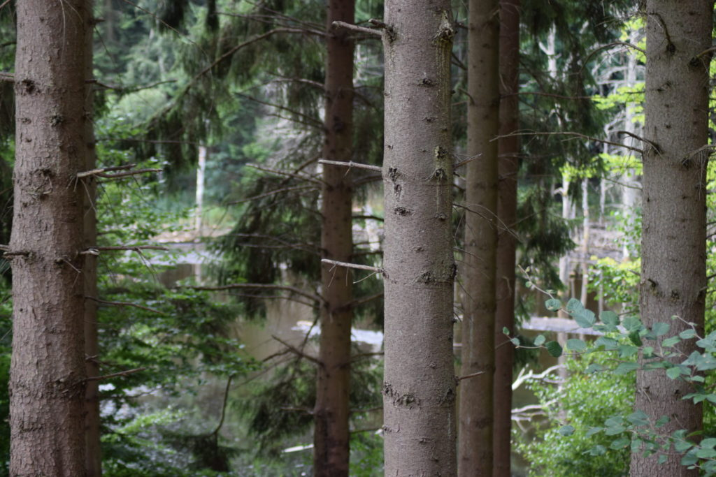 Store Brænteljung ses gennem grantræerne, man kan se vandspejlet, som i første omgang lover godt.