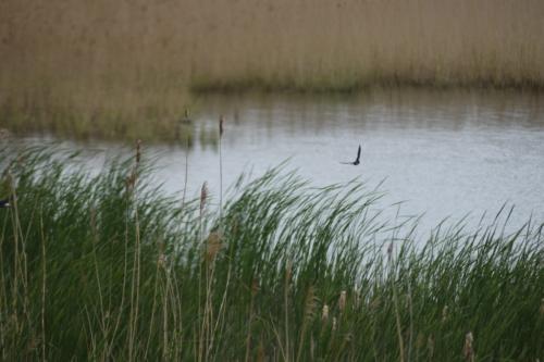 Landsvale (Hirundo rustica) flyver i sin hurtige flugt over Hejresøen på Kalvebod Fælled (Amager) over Tagrør (Phragmites australis) og Dunhammer (Typha sp.).