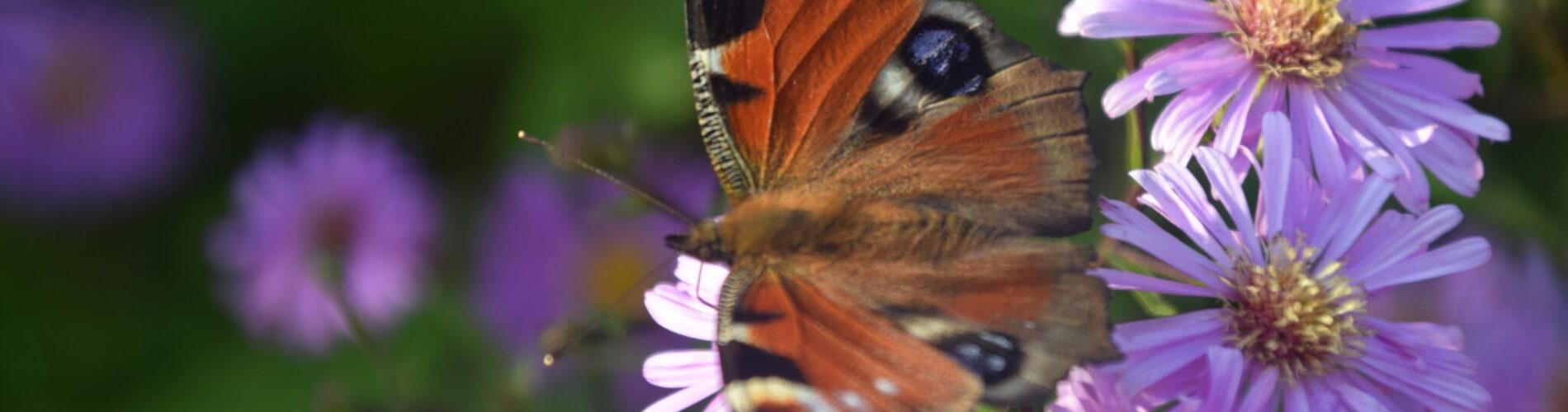 Dagpåfugleøje (Inachis io) på asters (astars sp.) en smuk sommerfugl, måske Danmarks smukkeste sommerfugl. Læs om hvordan du får denne sommerfugl til at flytte ind i din have her.