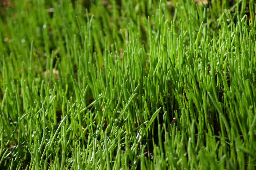 Det spire helt vildt ved Sophienholm slot. Det er vist nok noget kultur-løgplante noget (sikkert hyacinter), men jeg er overbevist om at her er mega smukt om en måneds tid. Vi tager tilbage og kigger på det. Naturen nær Bagsværd sø.